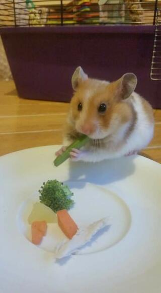 Syrian hamster eatying veg