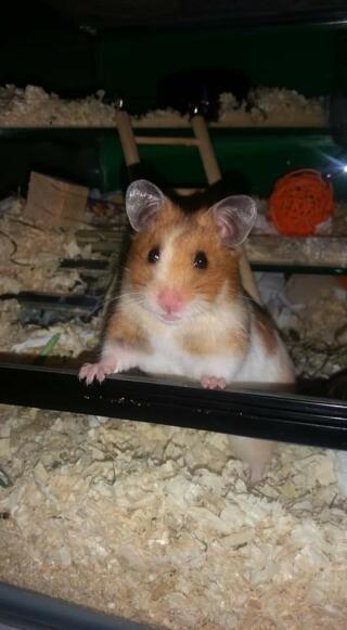 TortoisShell white hamster