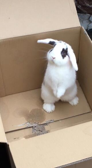Mini Lop my Little Eddie exploring (eating) an empty box