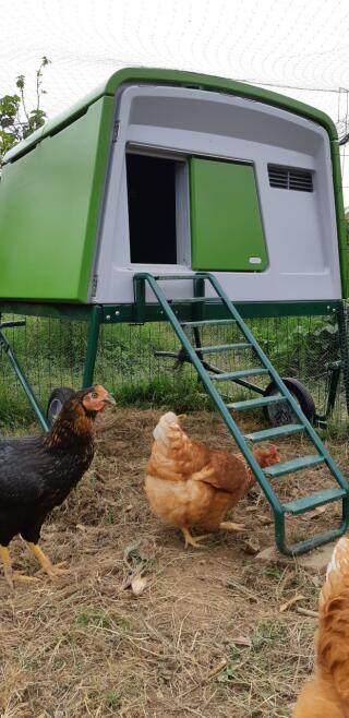 Eglu avec poulettes
