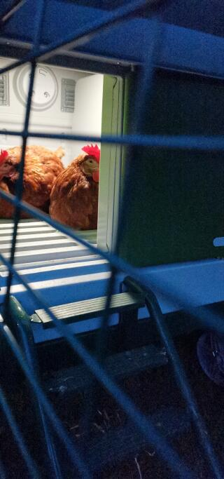 Cute chooks under their night light