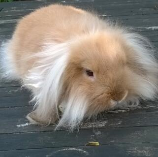 Orange Mini Lion Lop