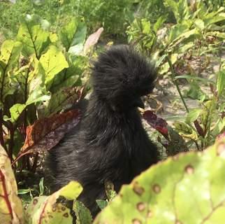 Silka czarna w wieku 3 miesięcy