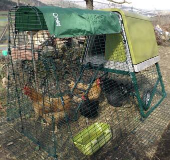 Nos poules se régalent dans leur nouvelle maison