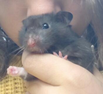 Voici mon petit hamster Oréo , agé de 8 mois et demi c'est un hamster doré , c'est un mâle