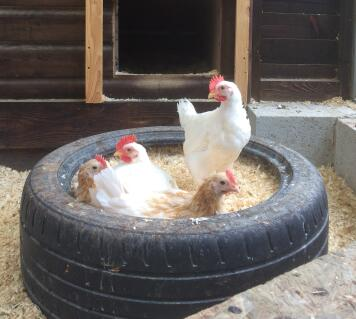 With our Friesian Fowl Friend in a tyre