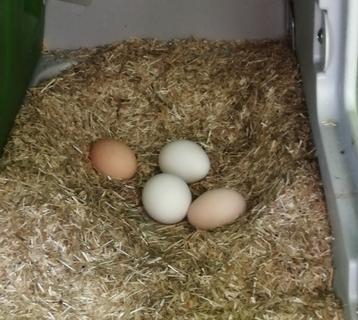 Eier im Nest