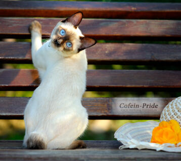 Mekong bobtail, seal-point female Olessia of Cofein-Pride, Cofein Pride cattery, Moscow, Russia