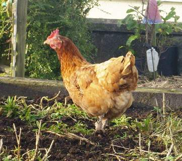 Ex-Battery Hen For Sale | Chickens | Breed Information | Omlet