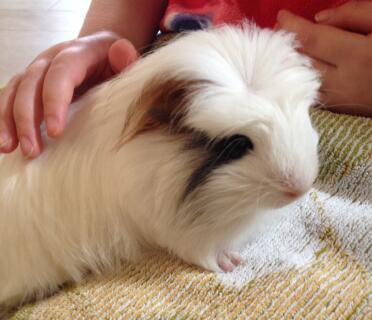 Splatter our Crested guinea pig