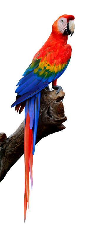 Scarlet Macaw Parrots Breed Information Omlet