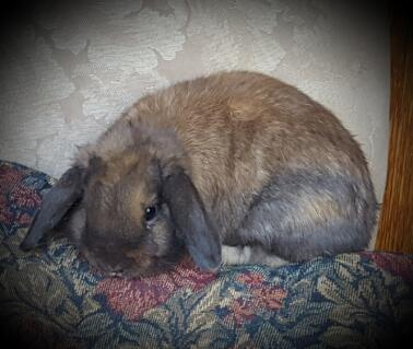 Colt a Holland Lop Buck