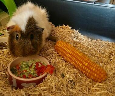 Le joli petit Caramel, qui recevra très bientôt un magnifique enclos Omlet, et deux petites compagnes, pour que son bonheur soit parfait!