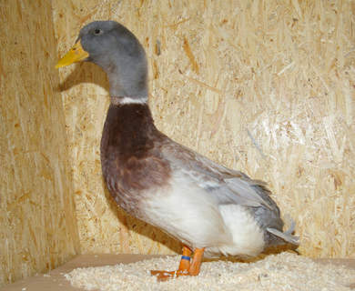 Saxony For Sale | Ducks | Breed Information | Omlet