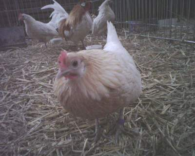red pyle dutch hen