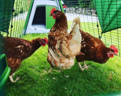Built Eglu yesterday and collected our new girls today :-) They Love their new home.