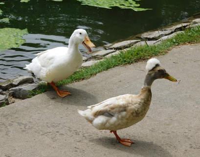 Crested Duck in public park in Sacramento, California.