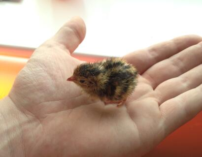 day old quail