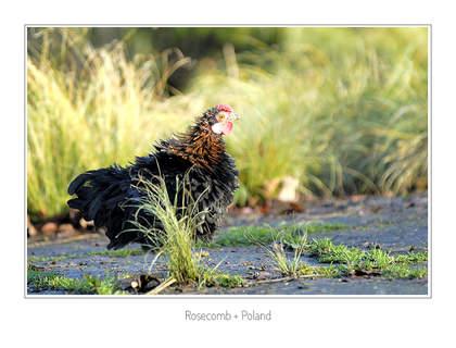 Rosecomb + Poland
