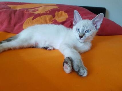 Bounty stammt von zwei 1/2 Siamesen ab, sieht aber deutlich mehr nach Siamkatze als nach Hauskatze aus!
