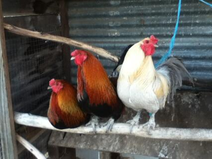 3 Araucana Roosters
