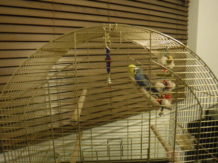 Lutino and Cobalt coloured budgie pair