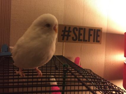 Selfie the Budgie