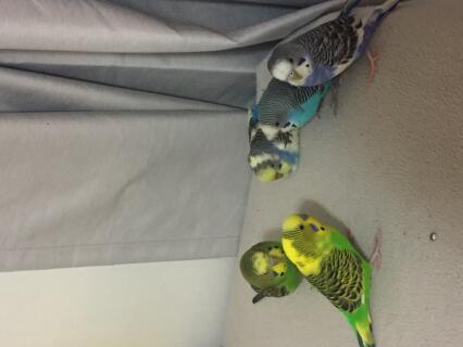 My birds. Endigo ( purple) shark ( rainbow ) ari ( blue) fries ( fancy green ) and pecan ( normal green