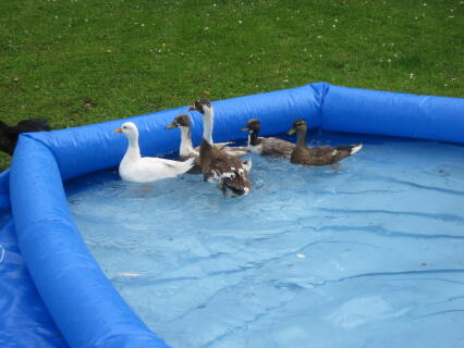 Mixture of ducks having a swim