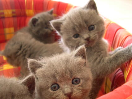 Bébés Chartreux