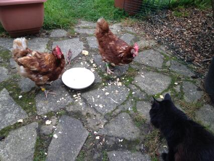 Cat and chickens sharing a bowl of scrambled eggs!
