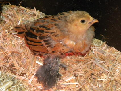 a baby barbd'uccle bantam