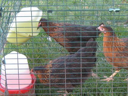 three chickens enjoying their eglu!