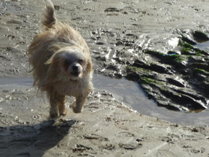Ollie running on the beach