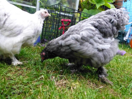 Cloudia & Stormia the Cochins
