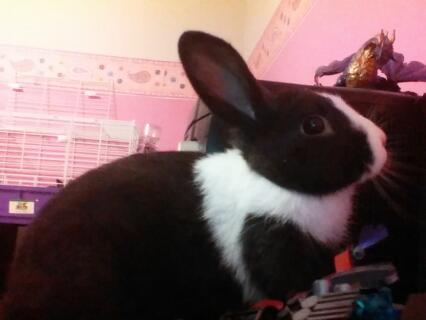 oreo the dutch rabbit