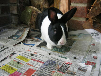 septimus, our dutch rabbit buck, enjoying himslef in the kitchen