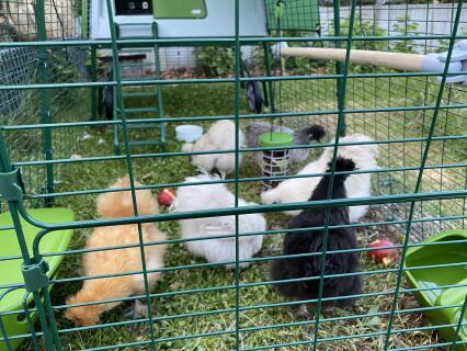 Zwergseidenhühner im Eglu Cube
