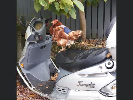 Tibbsy Hen Easy Rider