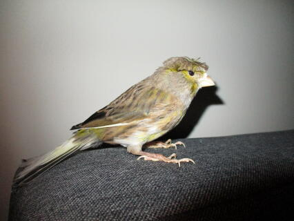 Crested Canary
