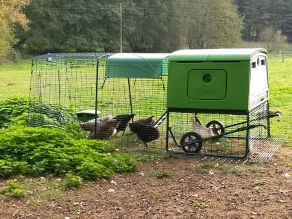 8 poules de gabarits moyens dans le grand Eglu