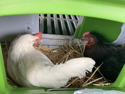 Prêtes a faire l'œuf