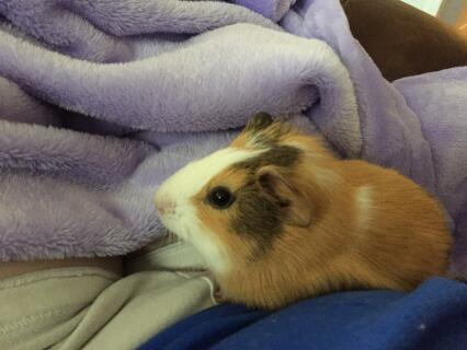 baby guinea