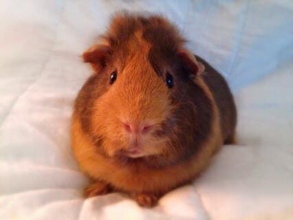 My cheeky piggie, Fuzzy Bear