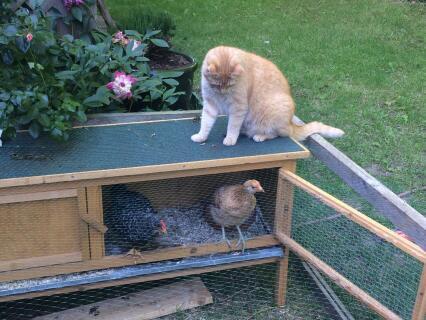 Katze + Hühner