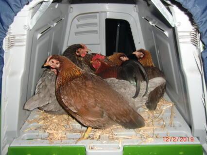 Hühnerglück !
