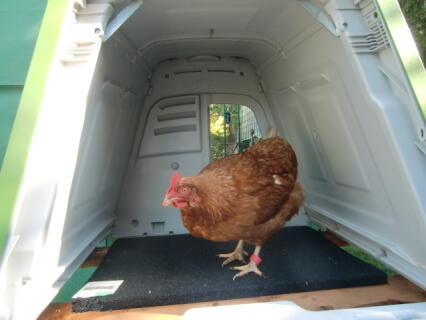 ist der Stall noch nicht gesäubert, zum Eier legen !