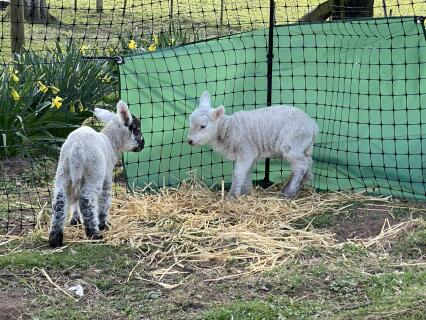 Keep the lambs out of the wind