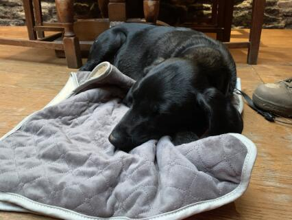 Our Labrador puppy enjoying his new blanket at the pub after a long walk