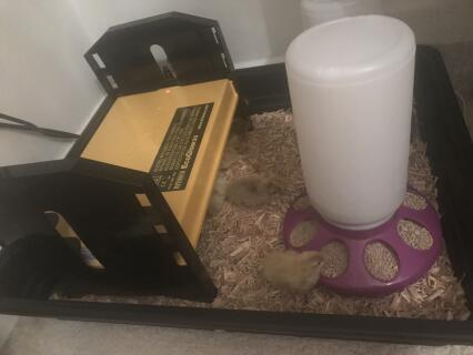 9 chicks under brinsea brooder